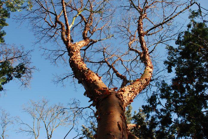Acer Griseum Bark Cropped