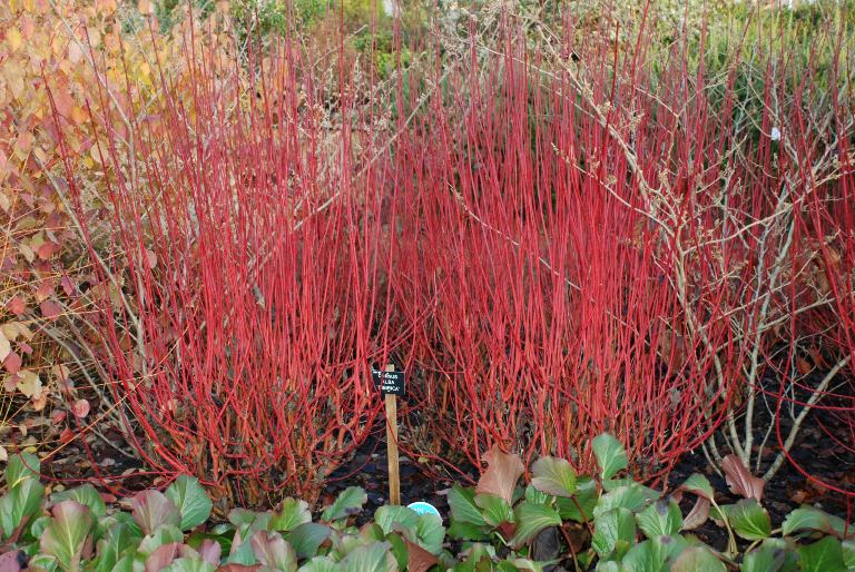 Want to brighten up your garden in winter lisa cox - Cornus alba sibirica ...