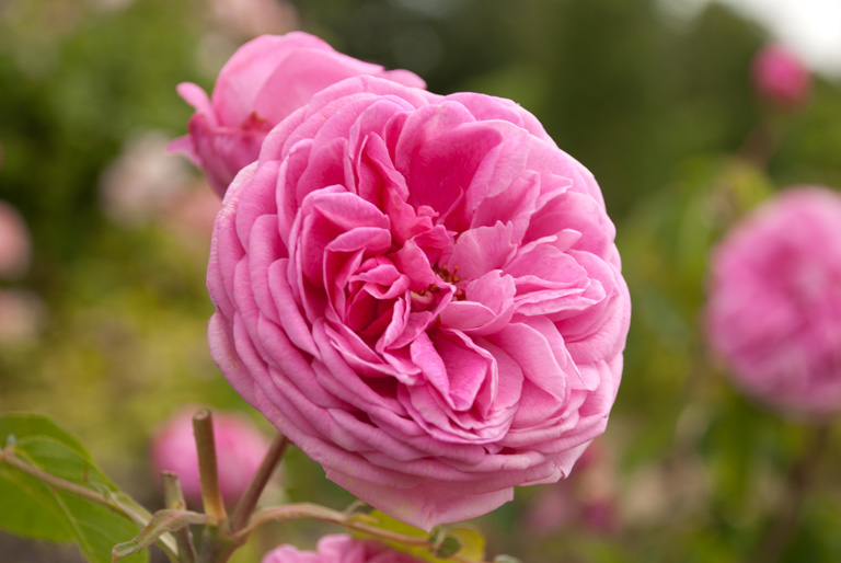 Loseley Park Rose 1