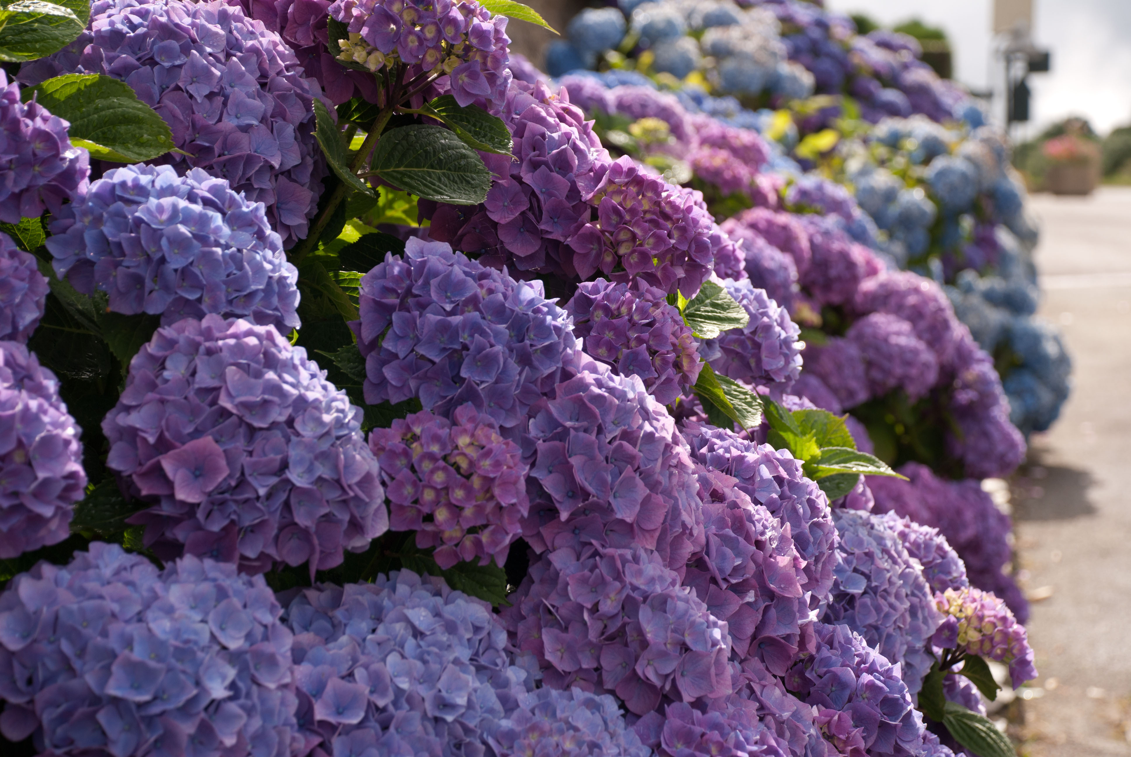 France in bloom magnificent blue hydrangeas lisa cox garden the izmirmasajfo Gallery