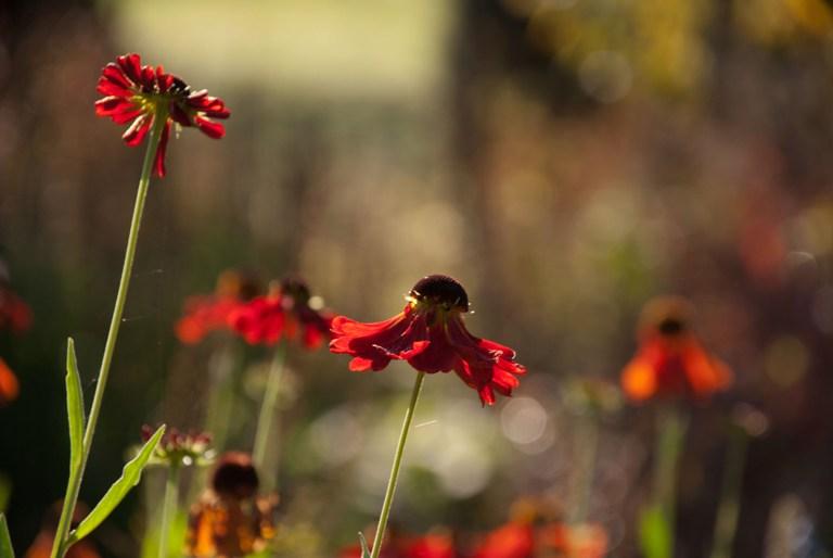 Helenium in flower garden at loseley park