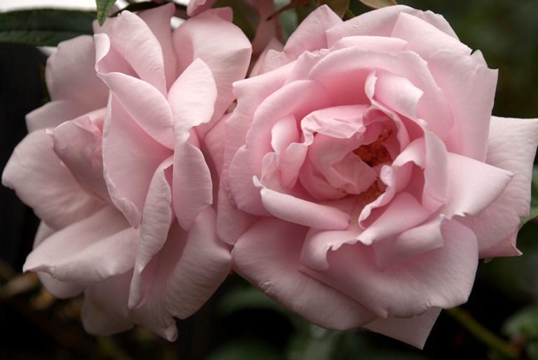 Pale Pink Rose | Lisa Cox Garden Designs Blog
