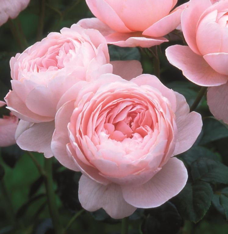 Roses In Garden: Lisa Cox Garden Designs Blog