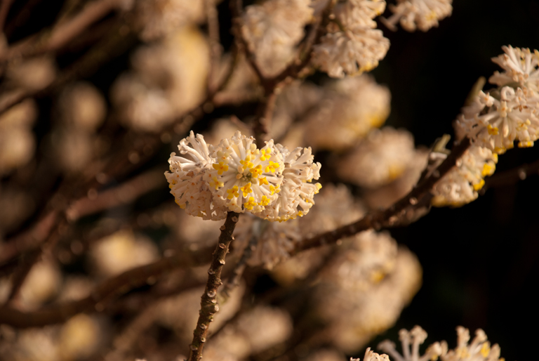 Edgeworthia chrysantha lisa cox garden designs blog for Edgeworthia chrysantha