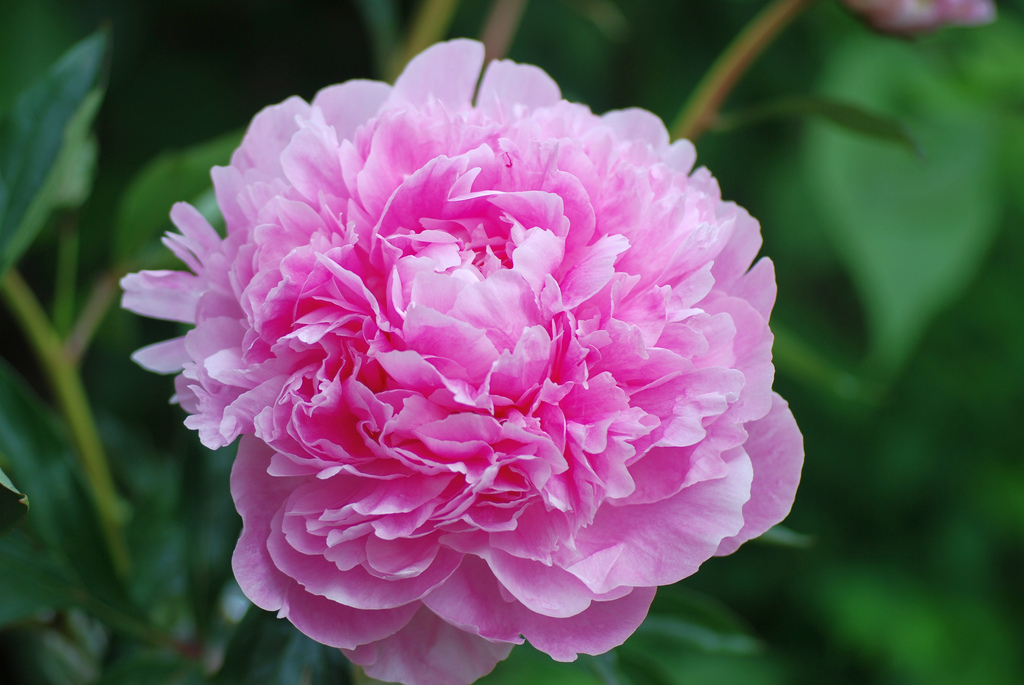 Paeonia Lisa Cox Garden Designs Blog