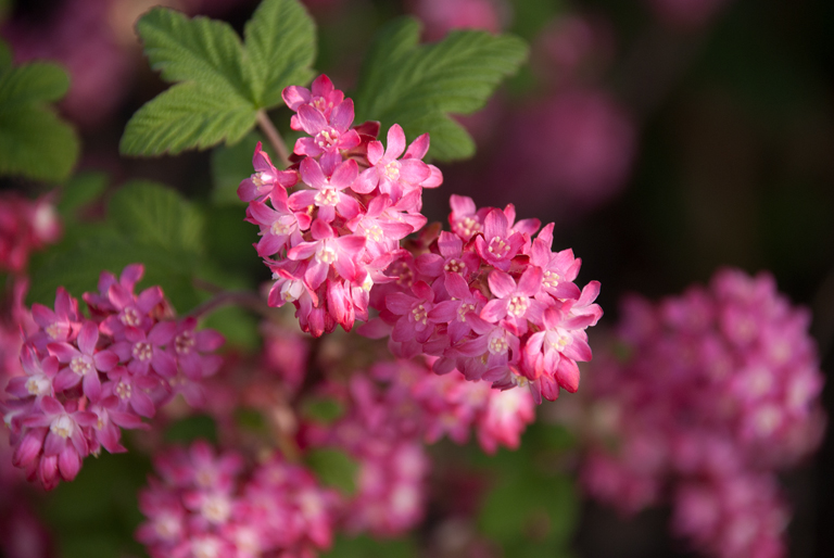 Spring Flowering Shrub Lisa Cox Garden Designs Blog