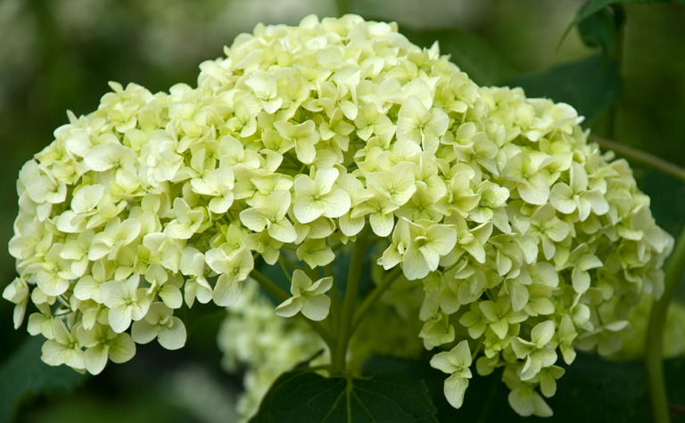 Garden flowers hydrangeas in all their different forms for Different garden plants