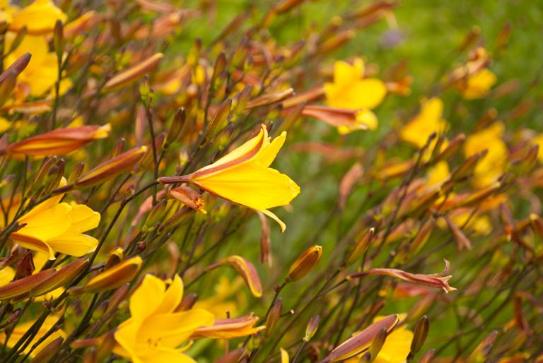 Yellow day lilies at Loseley Park hemerocallis