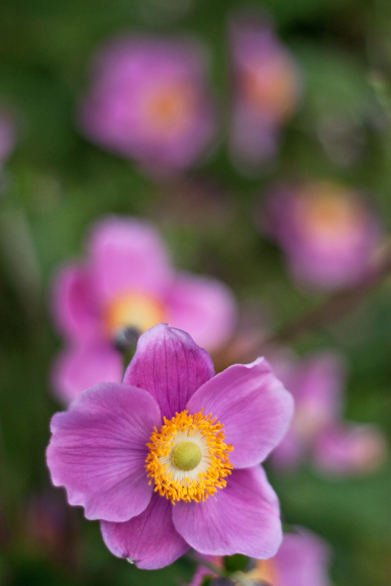 Anemone 'Honorine Jobert' | Lisa Cox Garden Designs Blog