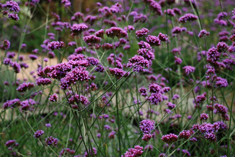 Tall long flowering perennials lisa cox garden designs blog verbena bonariensis mightylinksfo