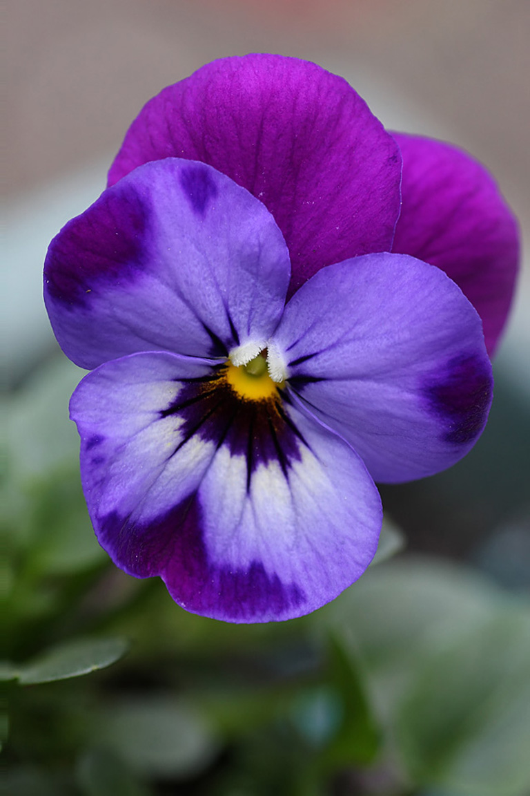 Garden flowers violas such dainty winter blooms lisa for Beautiful flowers to plant in your garden