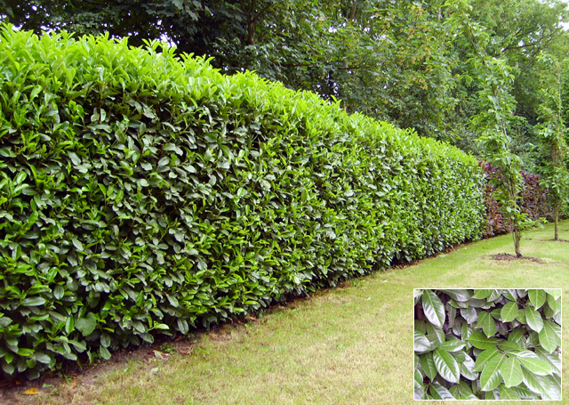 Beech hedging lisa cox garden designs blog for Garden design ideas with hedges