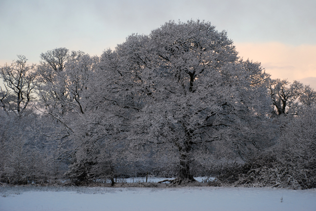 Snowy covered oak tree Lisa Cox Garden Designs