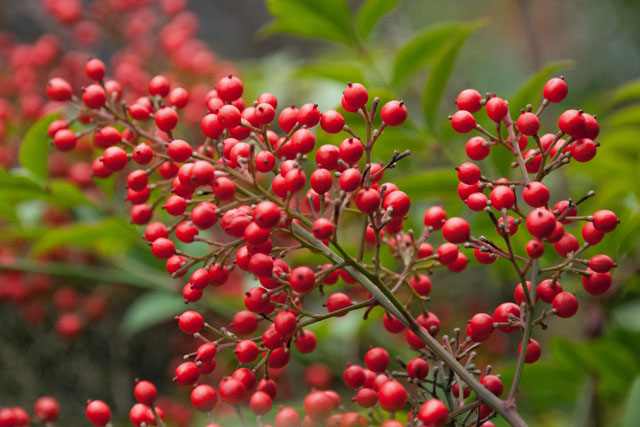 Nandina domestica berries Lisa Cox Garden Designs