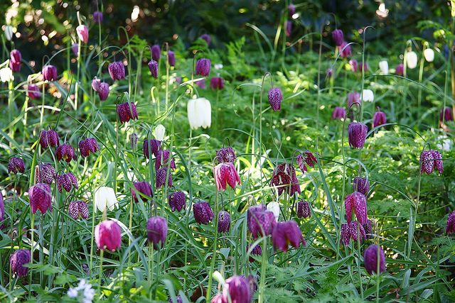 Fritillaria meleagris by ChodHound on Flickr