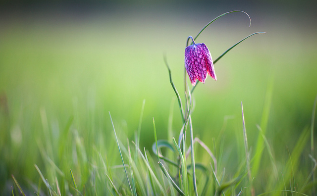 Fritillaria meleagris by Ulf Bodin on Flickr (2)