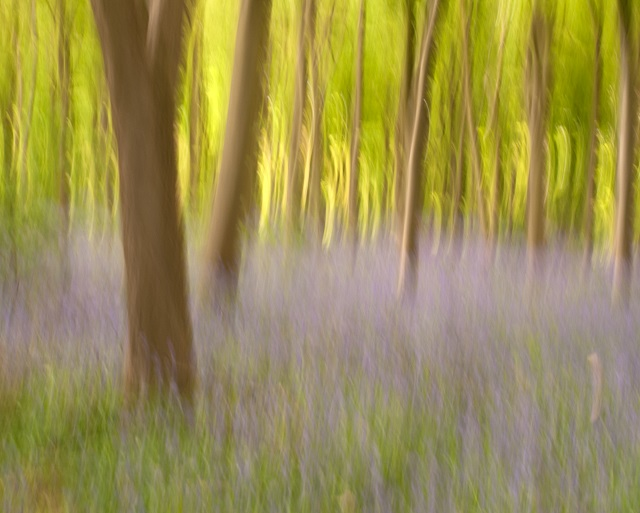Bluebell wood in Kent - Monet effect - Lisa Cox Garden Designs