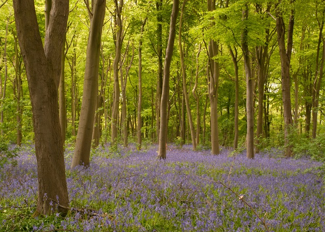 Bluebells in Kent Beech Wood - Lisa Cox Garden Designs