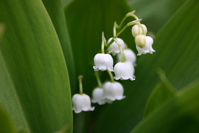 Lily of the Valley Flickr image by Mwri
