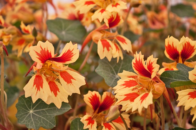 RHS-Chelsea-Flower-Show-Plant-of-the-Year-2013-Tropaeolum-Fruit-Salad-Flowerona-2