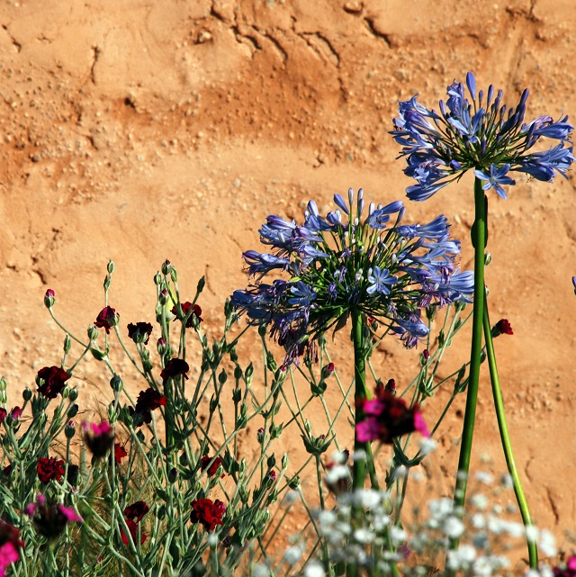 Ecover Garden Hampton Court 2013 Agapanthus & rammed earth wall Lisa Cox