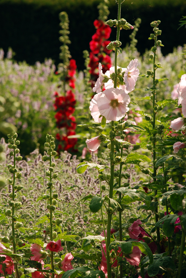 Hollyhocks at Loseley Park Lisa Cox Designs
