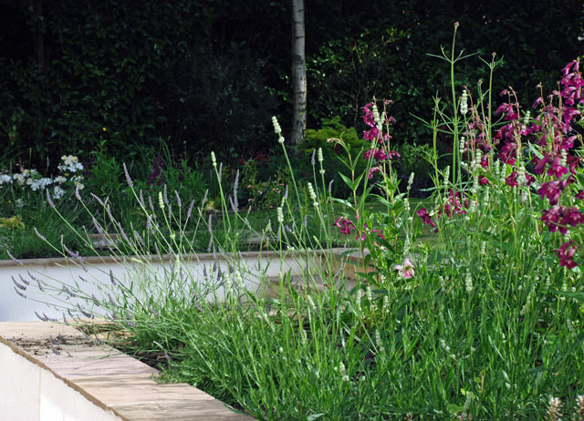 Penstemon & lavender Oxshott back garden design Lisa Cox