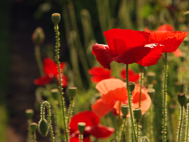 Red poppies at Loseley Park Garden Lisa Cox Designs