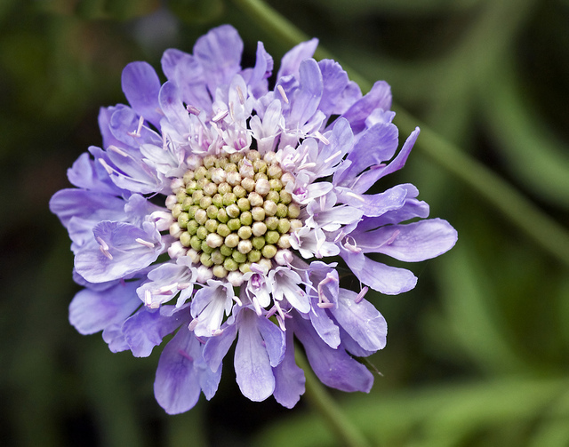 Scabiosa caucasica by Ron Dunnington on Flickr