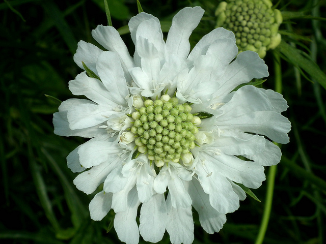Scabiosa caucasica white by Liz Simpson on Flickr