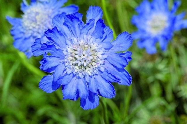 scabiosa caucasica deep blue Muller Seeds