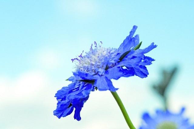 scabiosa caucasica fama deep blue Muller Seeds