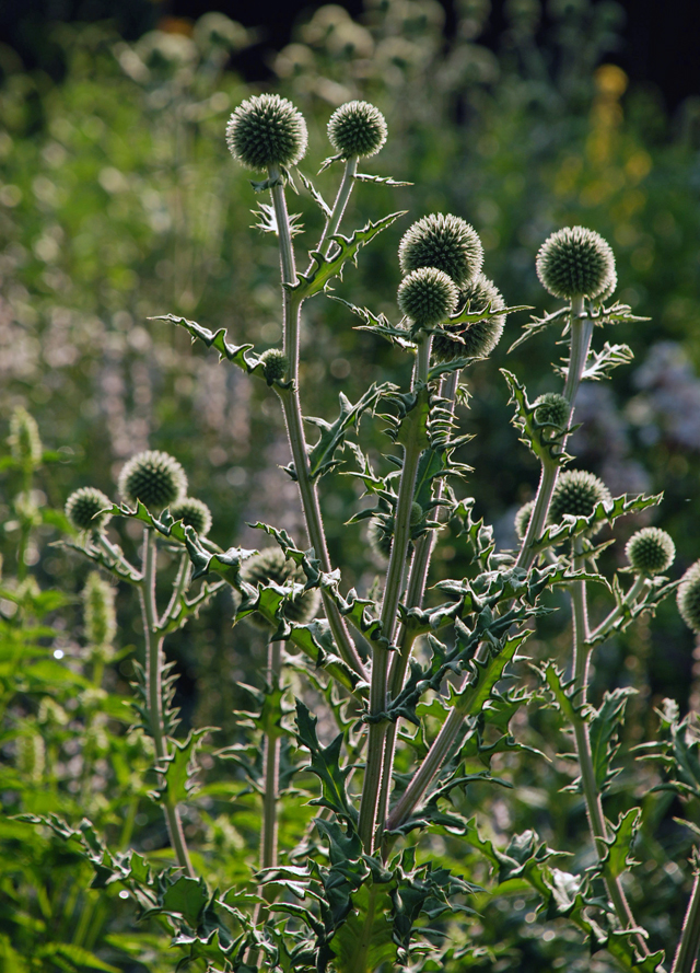 Echinops at Loseley Park Garden Lisa Cox