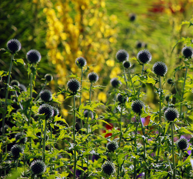 Echinops at Loseley Park Lisa Cox Garden Designs