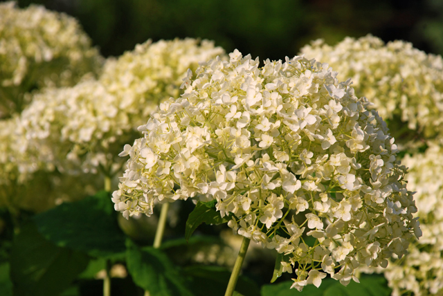 Hydrangea Annabelle taken at Loseley Park Lisa Cox