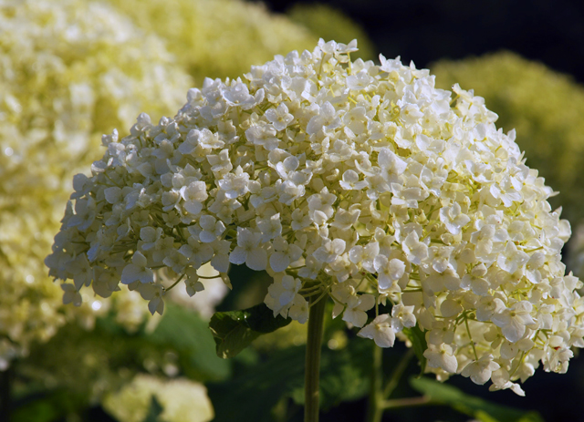 Hydrangea arborescens Annabelle at Loseley Park Lisa Cx