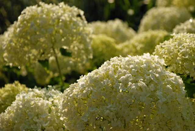 Hydrangea arborescens 'Annabelle' taken at Loseley by Lisa Cox