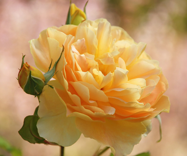 Lemon yellow rose at Loseley Park Lisa Cox Garden Designs