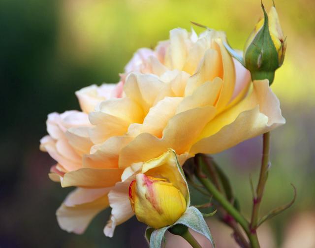 Rose at Loseley Park Garden Lisa Cox Designs