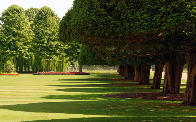 The yew trees at Hampton Court Palace Lisa Cox Garden designs