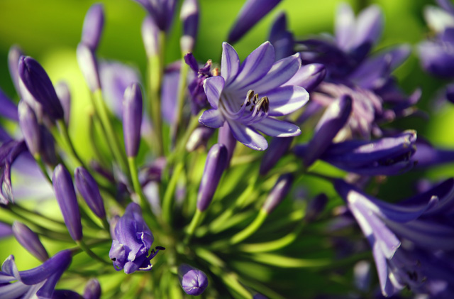 Agapanthus at RHS Wisley Flower Show 2013 Lisa Cox