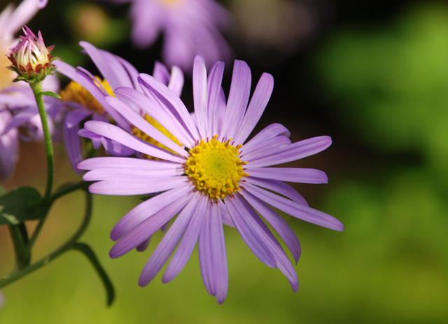 Aster frikartii Monch Lisa Cox Garden Designs