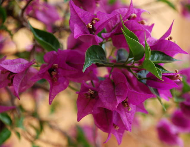 Bougainvillea in Lefkada Lisa Cox Garden Designs