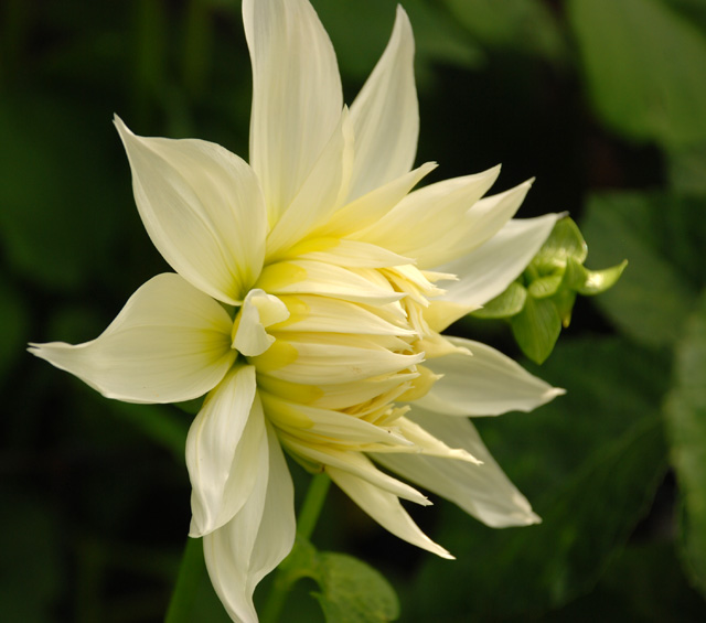 Dahlia Fleur opening up Lisa Cox Garden Designs