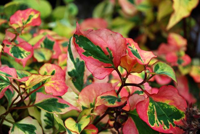 Houttuynia cordata 'Chameleon' Lisa Cox Garden Designs