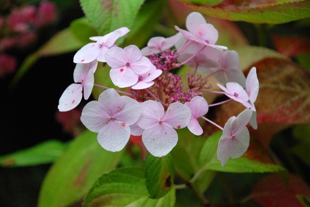 Lacecap hydrangea Lisa Cox Garden Designs
