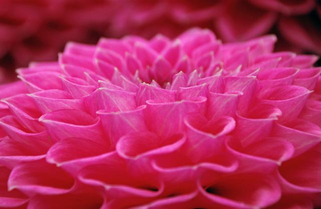 Pink dahlia RHS Wisley Flower Show Lisa Cox