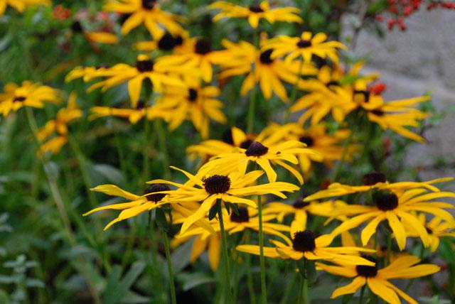 Rudbeckia fulgida Goldsturm Lisa Cox Garden Designs