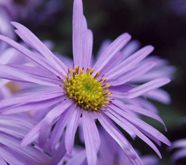 Aster x frikartii Monch Lisa Cox Garden Designs