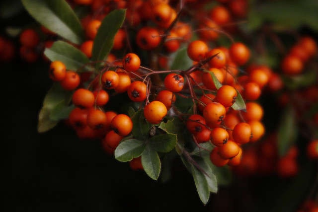 Pyracantha angustofolia berries Flickr image by slynkycat